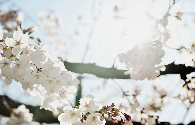 花見: Hanami