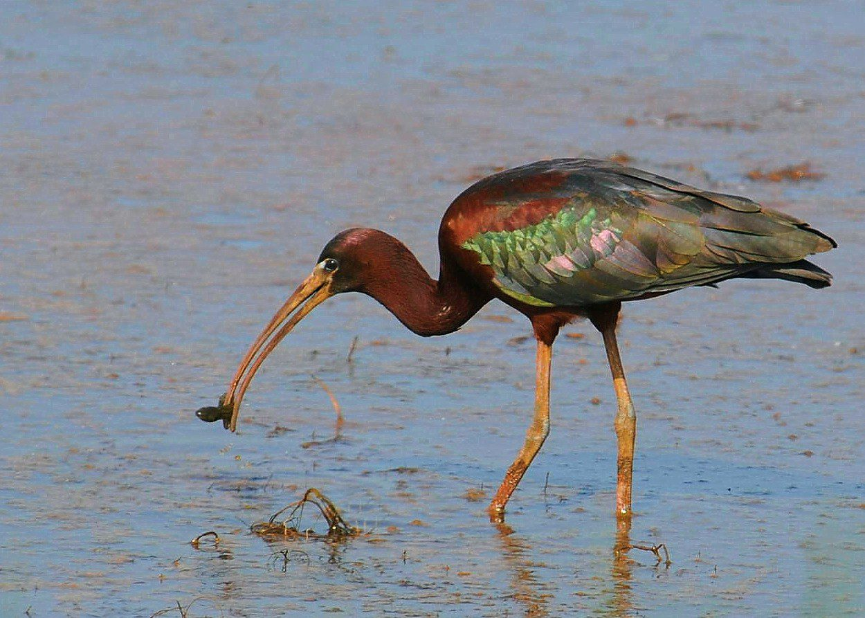 Image result for glossy ibis