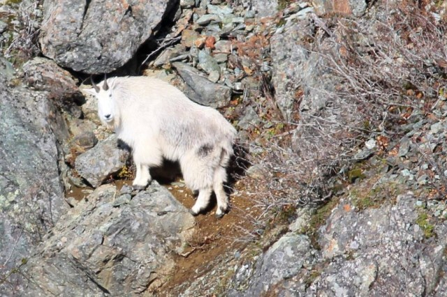 Mountain goat-Ken Peterson