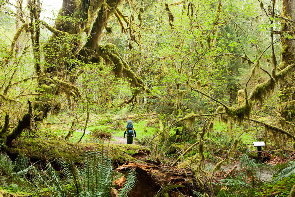 Hiking in the Hoh Rainforest