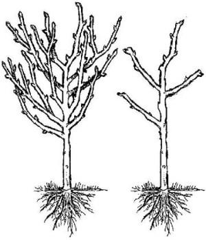 fruit trees, Hollybrook Orchards plum pruning diagram