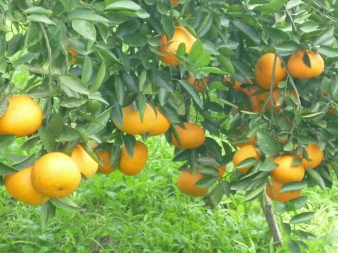 6.新奇的柑桔品種Ortanique
