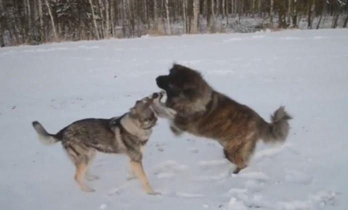 E tmerrshme: Në Suharekë, qenin e fusin në luftë me një ujk