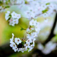 三ッ池公園乃桜
