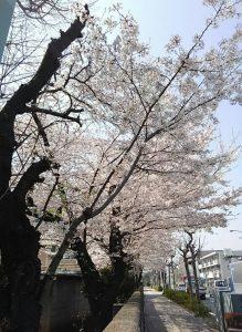 '18.3.29桜