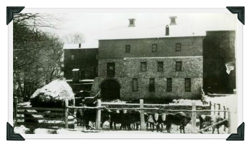 Beef steers in front of the Gault barn, winter of 1930.