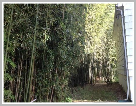 Bamboo grows on a West Ambler Road property line -- and in back of the house too.