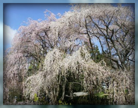 Weeping cherry trees on Minuteman Hill. (Photo by June Eichbaum)