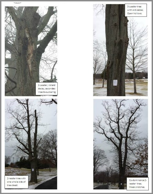 Photos of the Norway Maples in the report show (clockwise from upper left): rot and decay; open hollows; weak crotches, and one entire side of the tree dead.