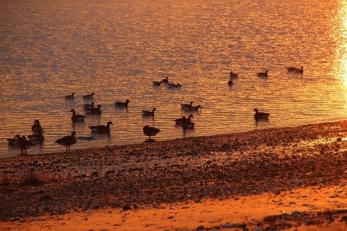 There were ducks galore on Saugatuck Shores...