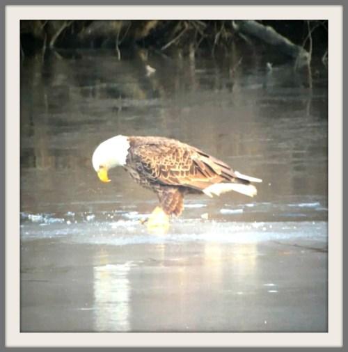 bald-eagle-nashs-pond-tricia-freeman