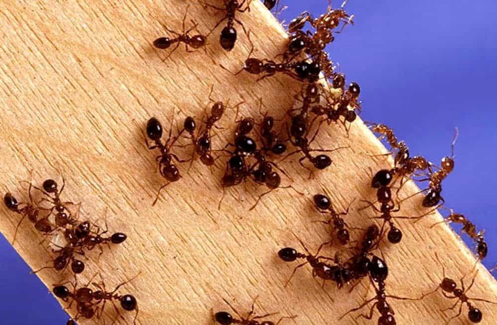 Formiche In Casa Rimedi Naturali Per Prevenirle Ed Allontanarle