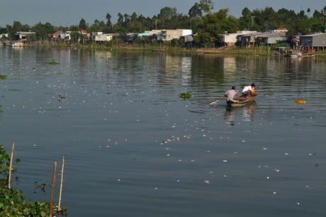 ĐBSCL: Gần 1000 tấn cá chết trắng sông Cái Vừng