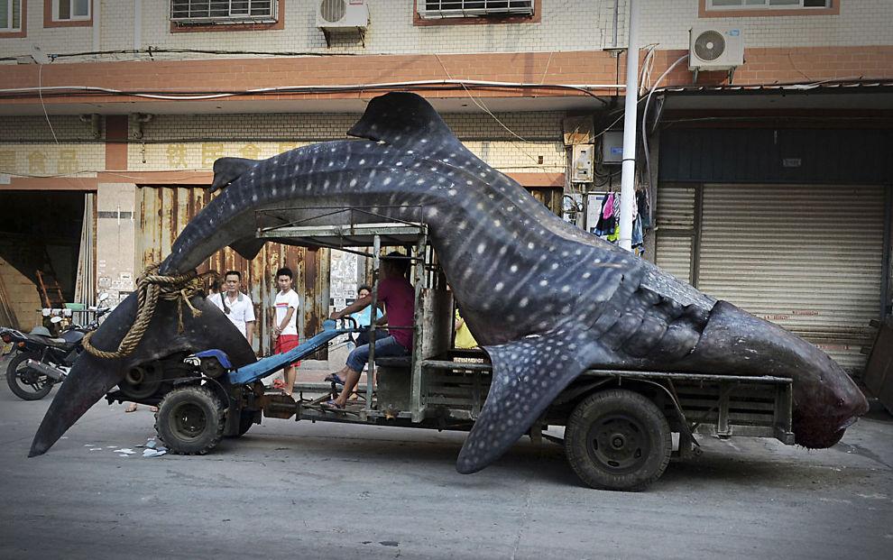 <p>FISK PÅ KROKEN: Kinesiske fiskere fikk en overraskende start på uken med denne fangsten i nettet. Planen var å selge fisken for nærmere 20.000 norske kroner.<br/></p>