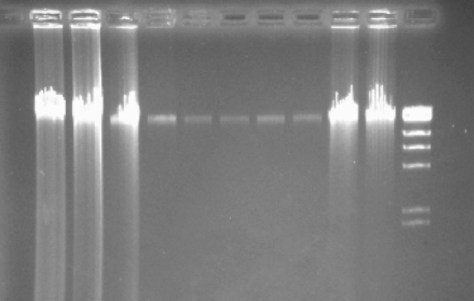 genomic_DNA_gel