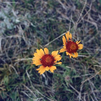1000Butterflies.ca - mom corn flower