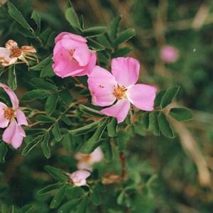 1000Butterflies.ca - mom wild rose