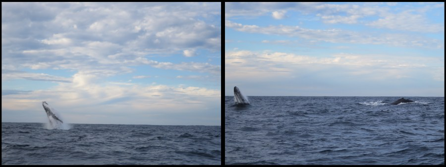 Sydney Whale watching 2