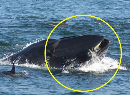 クジラに食われかけたダイバー。すぐに吐き出されて奇跡的に助かる。