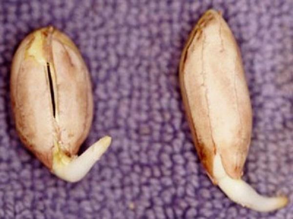 semente-de-amendoim-germinada