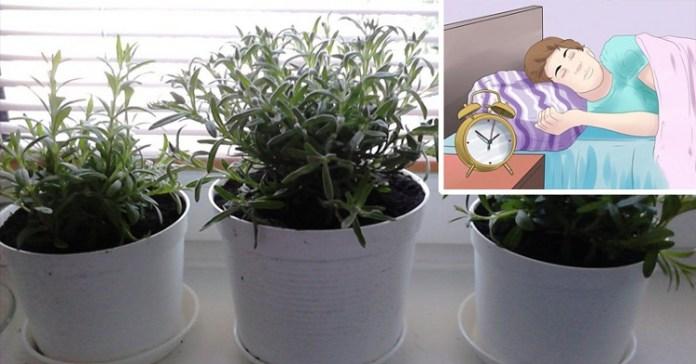plantas_que_melhoram_o_sono