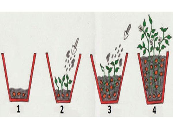 como-plantar-batatas-em-recipientes