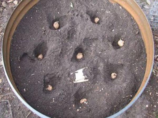 plantar-batatas-em-baldes