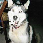 inuit-premier-husky