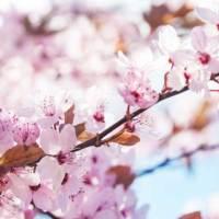 Happy Hanami – Zum Kirschblütenfest nach Japan