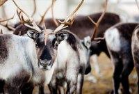 Samische Kultur in Schwedisch Lappland erleben