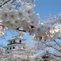 Ein Land im Kirschblütenrausch