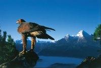 König der Lüfte im Nationalpark Berchtesgaden