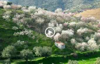 Maravilhosas Amendoeiras em Flor!