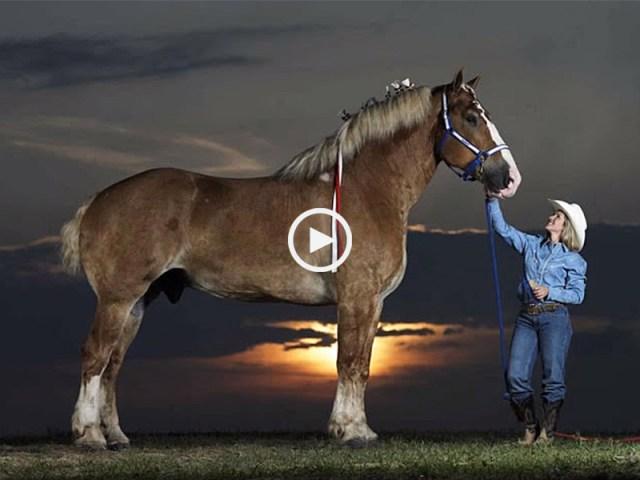 maiores cavalos do mundo