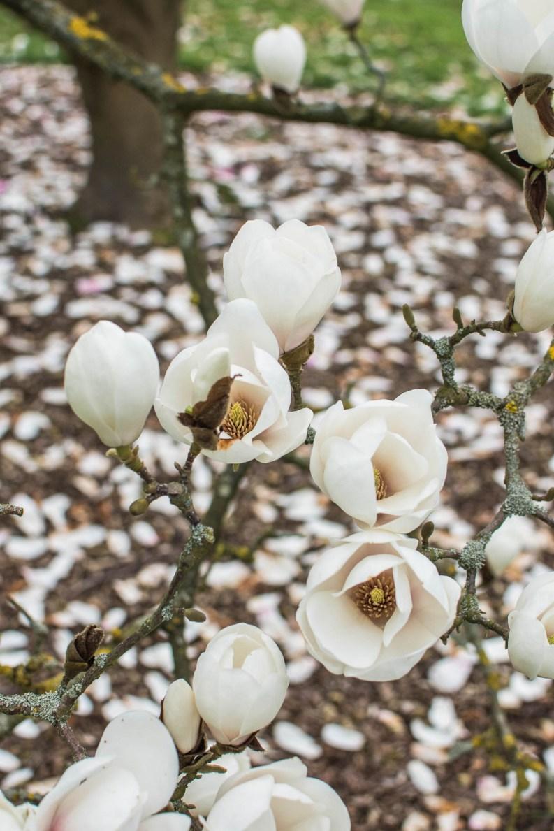 Každým rokem na začátku dubna seArboretum Wespelaar mění v louku plnou rozkvetlých magnolií, která potěší oko všech milovníků těchto krásných stromů. Kvetou tu magnolie skvěty všech tvarů v bílé, růzové i žluté barvě. Vzhledem kjeho dostupnosti si sem můžete naplánovat třeba jen krátký odpolední výlet zBruselu.