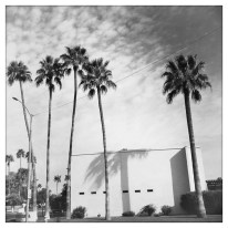 palm trees BW
