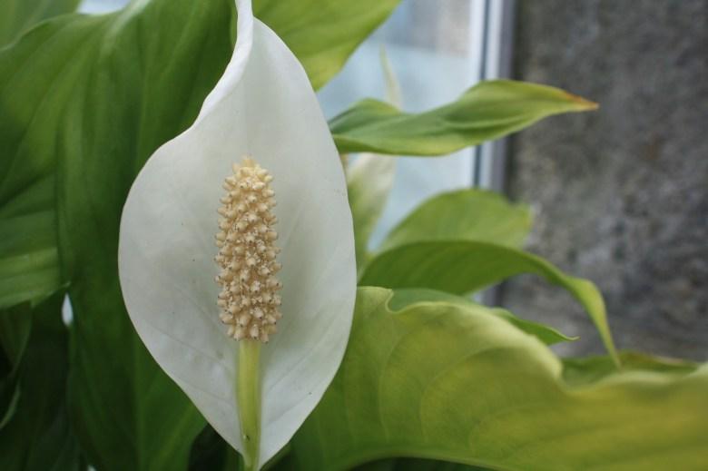 Planta Lírio-da-Paz
