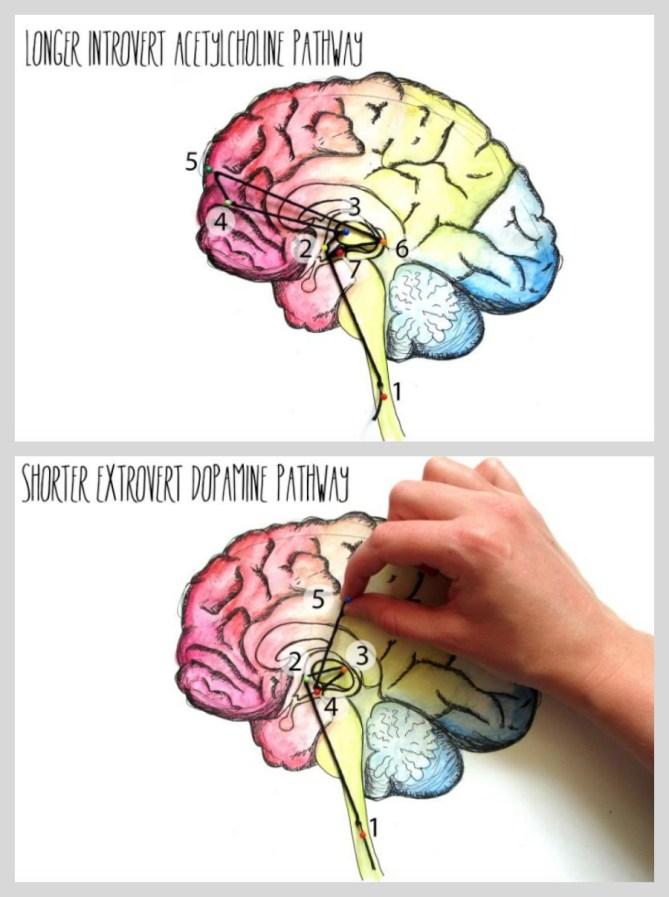 Introvert vs. Extrovert brain