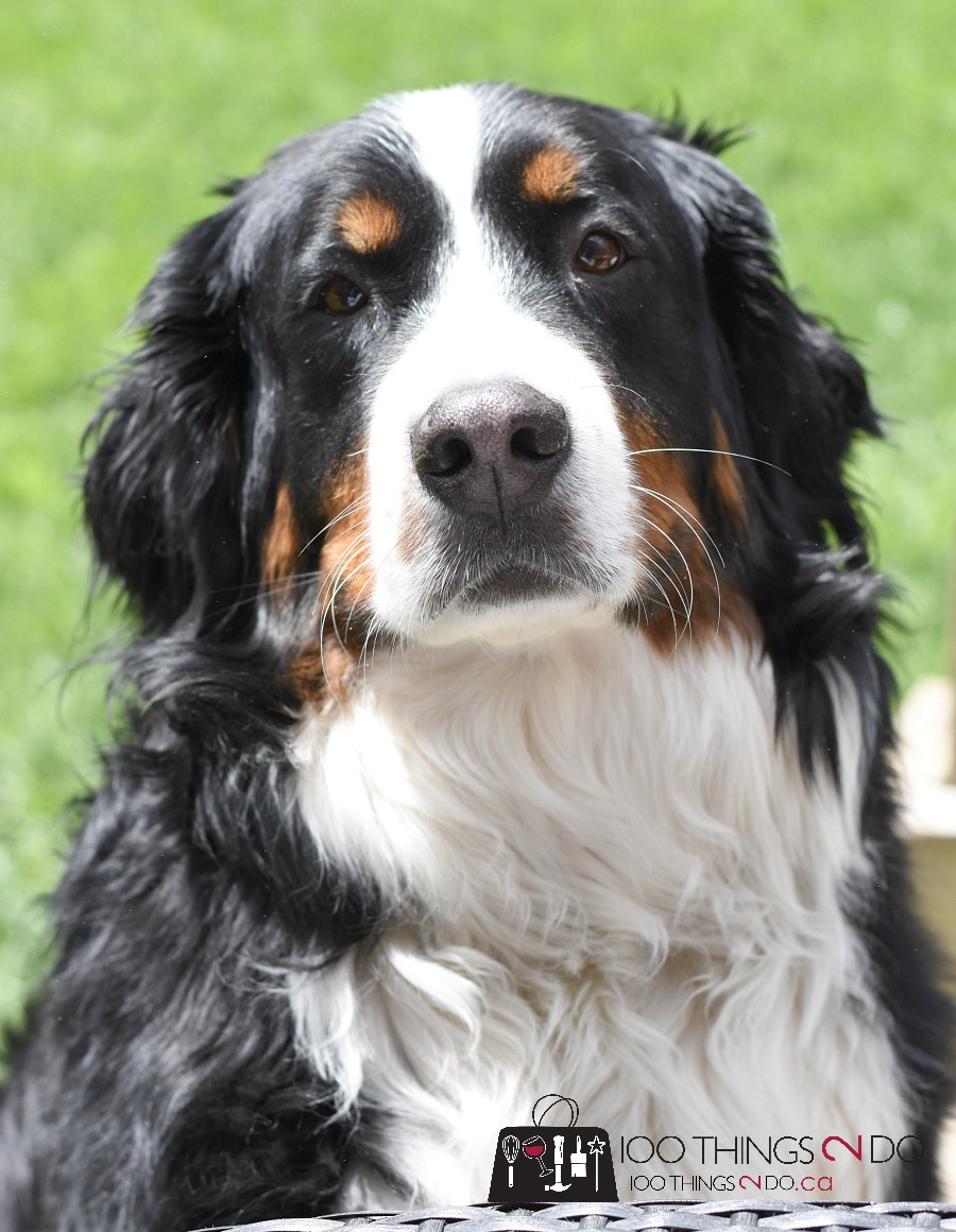 Bernese Mountain Dog, Lacey