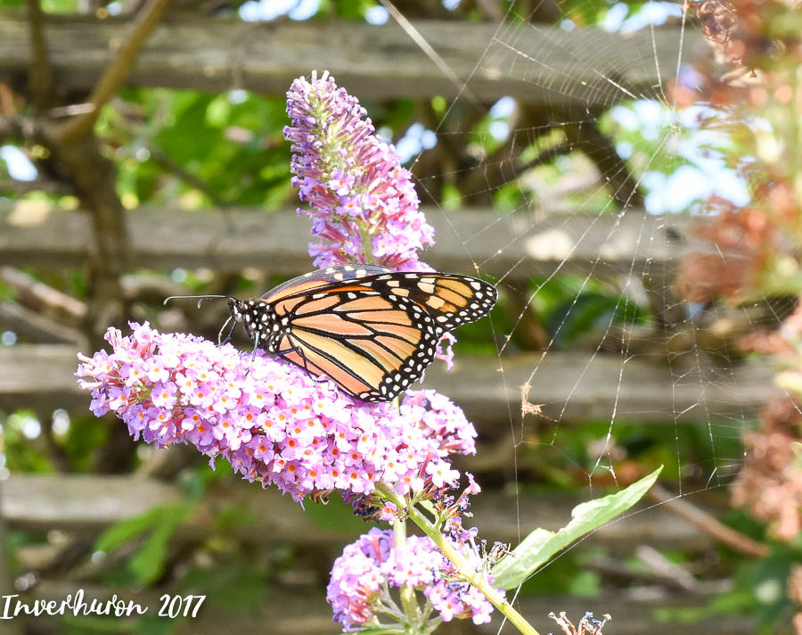 Butterfly, Monarch, Cottage living, Inverhuron, Lake Huron, beach, Kincardine, summer vacation