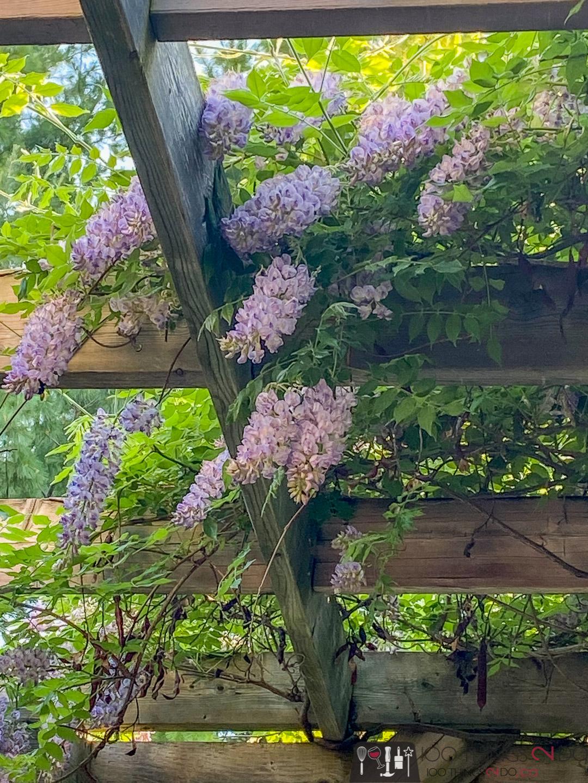 wisteria over a pergola