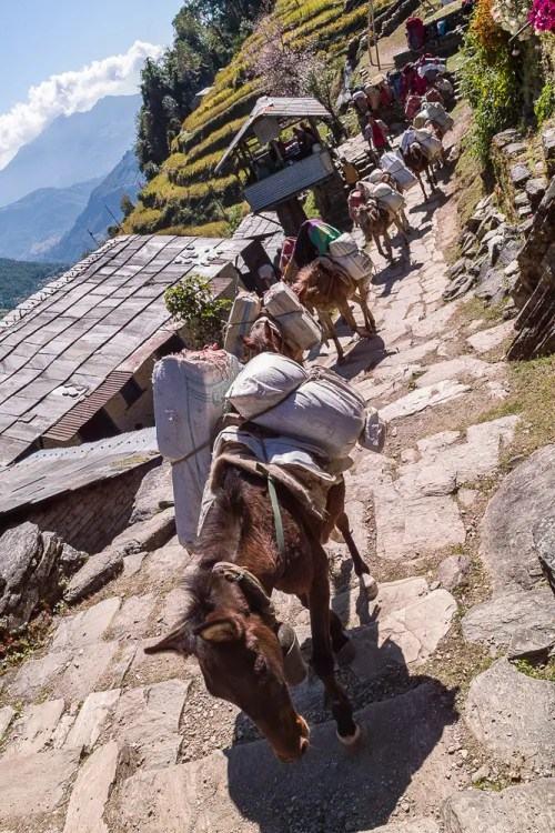 Donkeys carrying stuff in Himalaya