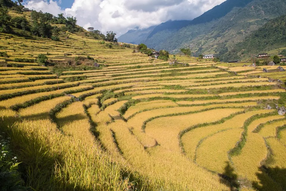 Annapurna rice terrace