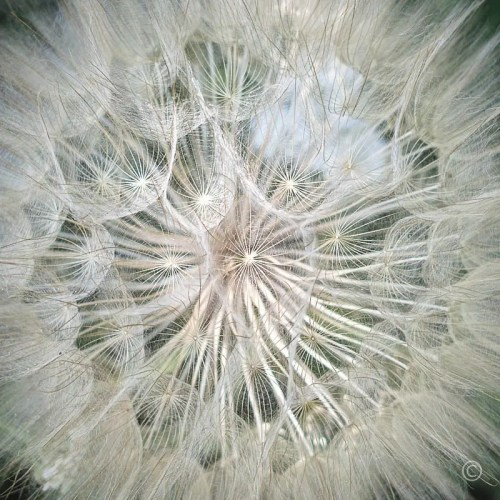Nature Patterns: Dandelion Close-Up