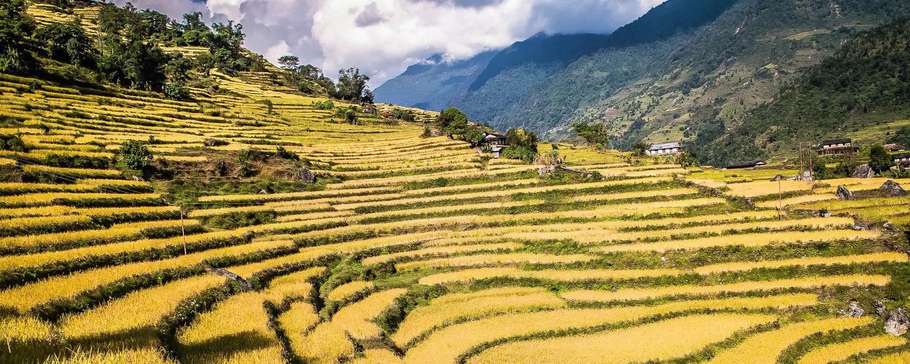 Annapurna Rice Terraces