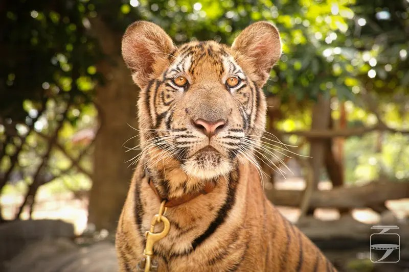 Jumpy the tiger