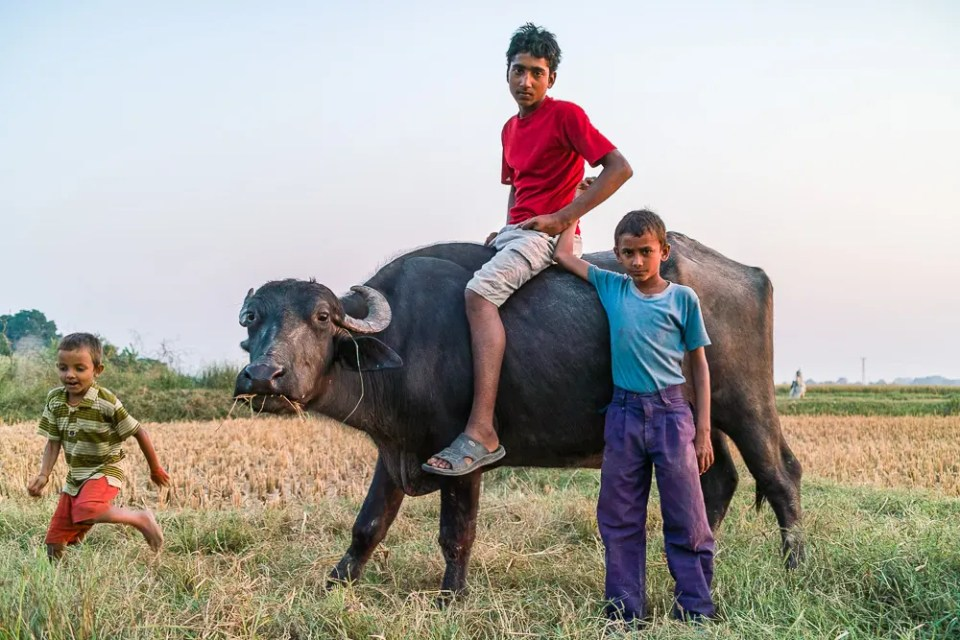 Children riding ox and playing