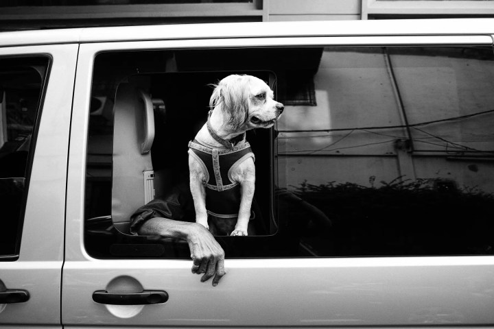 Dog enjoying the view from the car