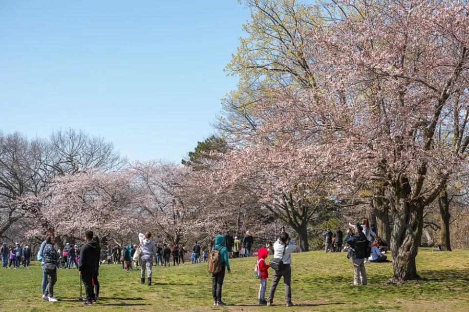 High Park cherry blossoms, Toronto