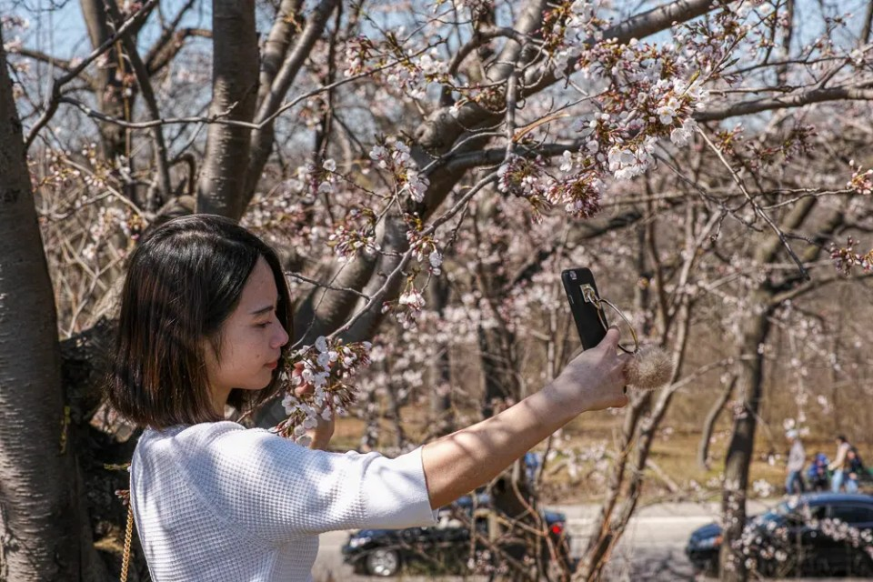 Asian girl taking sakura selfie